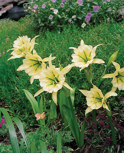 Hymenocallis Planting Guide