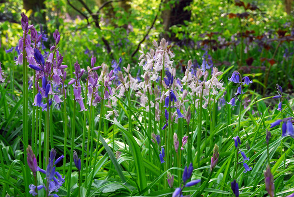 Best Bulbs for Naturalizing