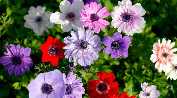 Anemone Planting Guide