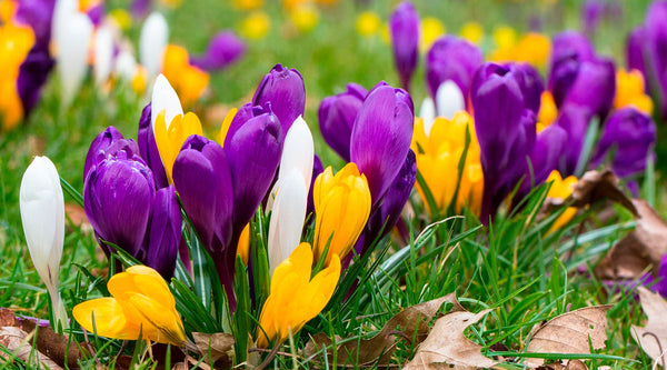 Crocus Planting Guide