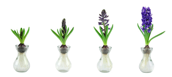 Growing Hyacinths in glasses...