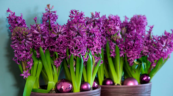 Hyacinth Planting Guide