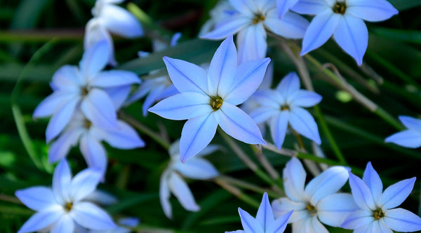 Ipheion Planting Guide