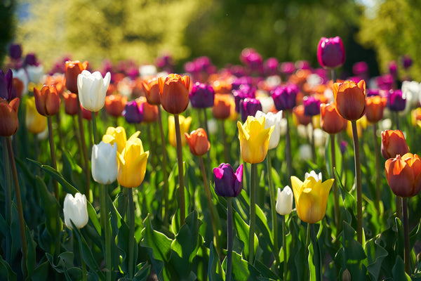 Spring Bulbs are here...