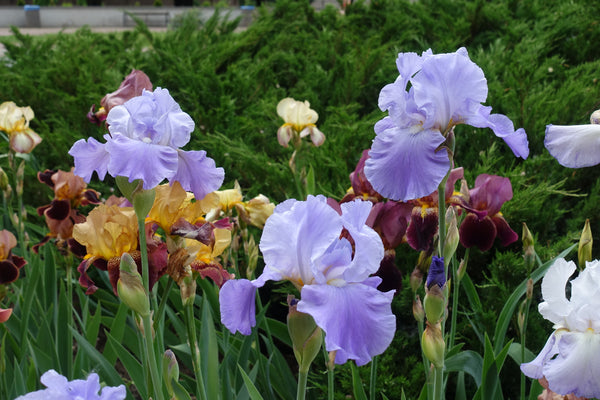 Bearded Iris Planting Guide