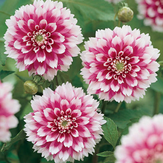 Summer Bulbs - Dahlias, Callas and much more online at the end of July 2017