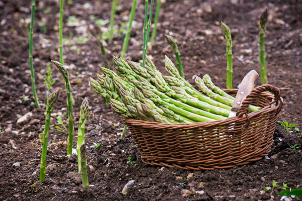 Asparagus Planting Guide