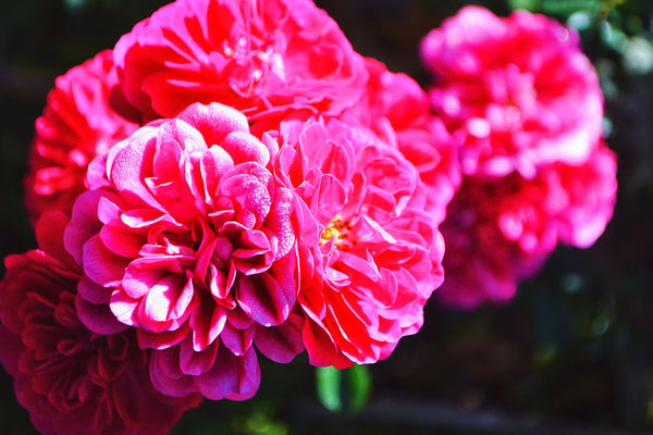 Paeony Planting Guide