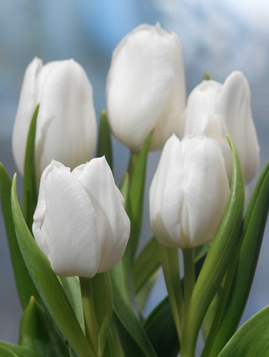 White Dream Tulip