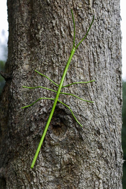 stick insect on tree painted