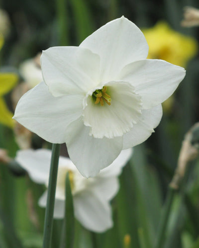 Stainless Daffodil NEW