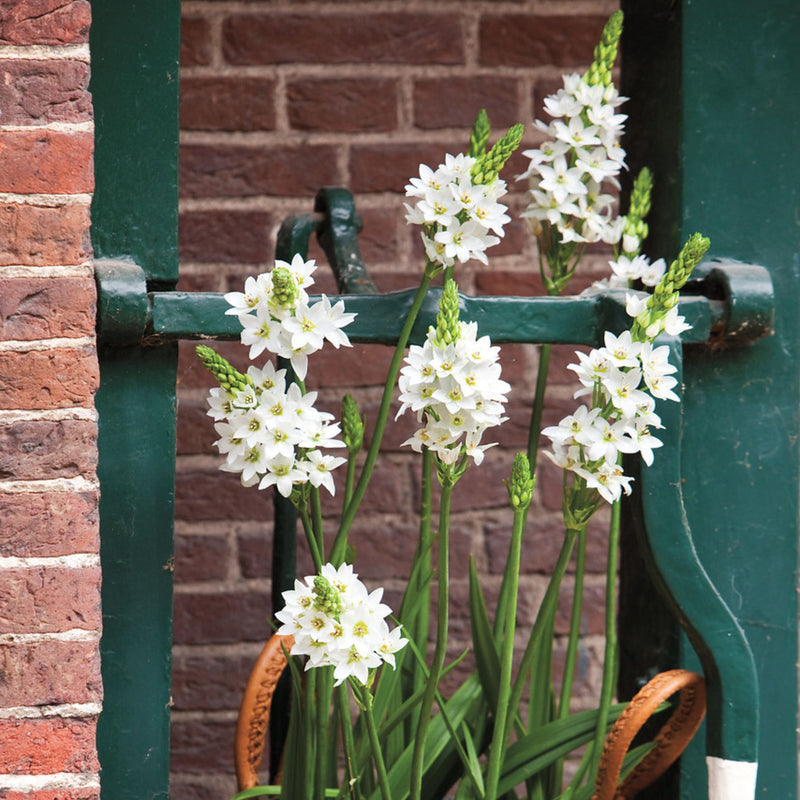 Thyrsoides (Chincherinchee)