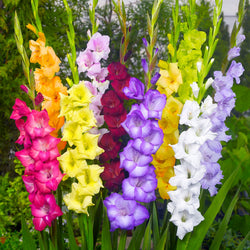 Mini Gladioli Flevo Mix
