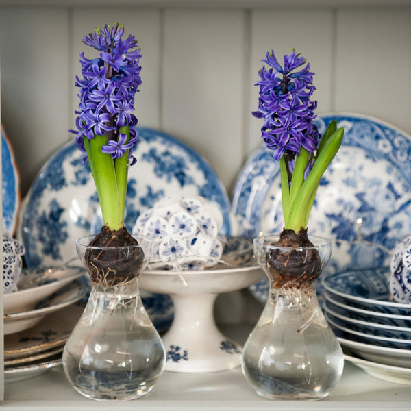 Hyacinth Growing Glass