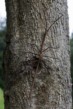 Stick Insect on tree non painted