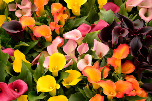 Calla lily (Zantedeschia) flowers in full bloom.
