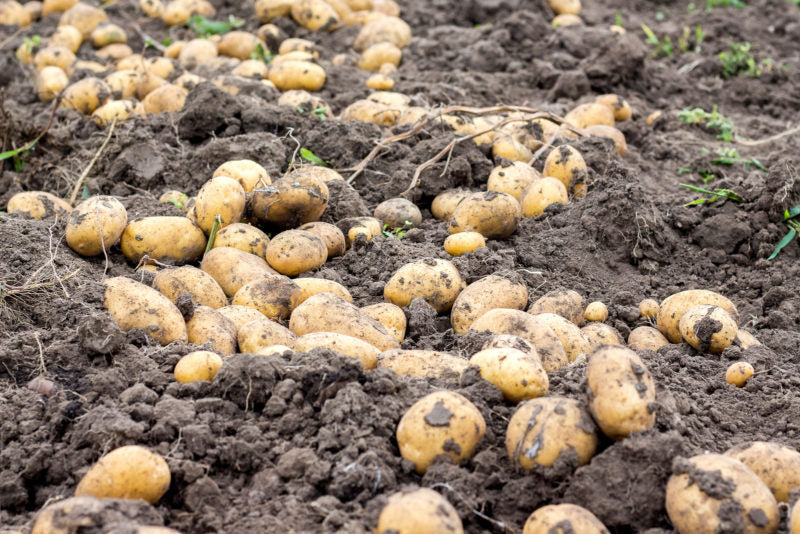 Potato Tubers Dry In The Field On The Ground. A Good Potato Harv