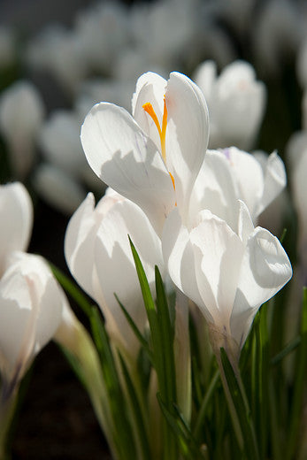 Pure white Crocus bulb