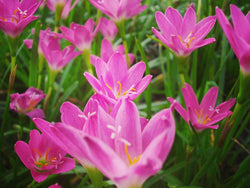 Zephyranthes Lily or rain Lily. Picture in vintage and retro tone.
