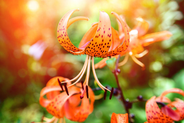 Orange Tiger Lilies Bloom In The Garden Of A Country