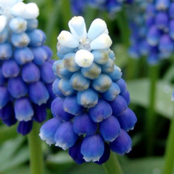Touch of Snow Muscari