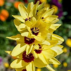 51914696 - beautiful ixia flower in garden japan