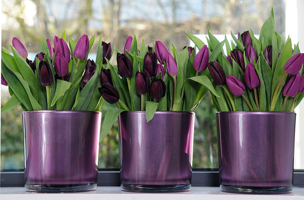 Purple Tulip bulbs nz