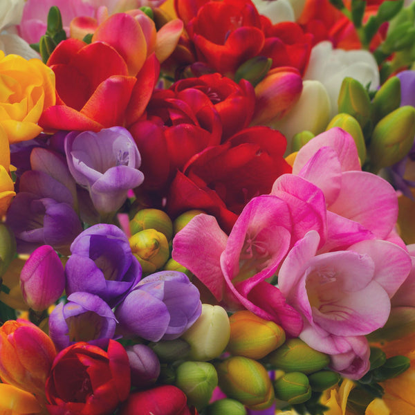 Freesia Super dooper Mixed