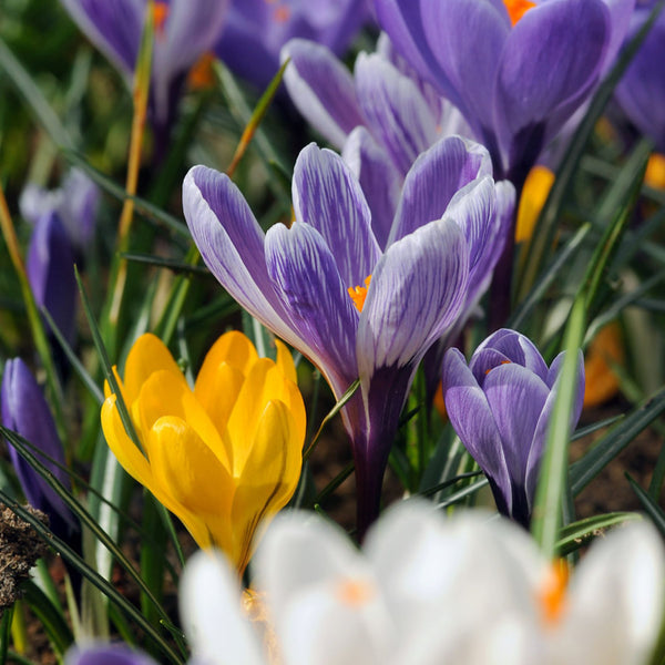 Giant Crocus Mix