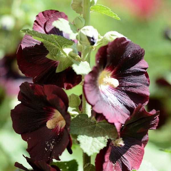 Ebony Towers (Hollyhock)