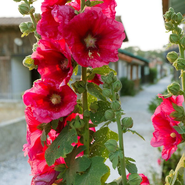 Henry Red (Hollyhock)