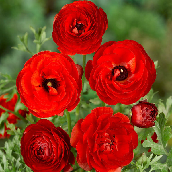 Ranunculus - Red