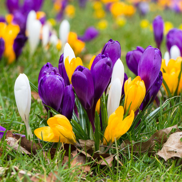 Specie Crocus Mix
