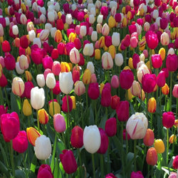 Tulip Bulk Collection