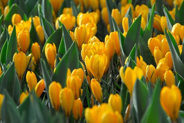Sunkist Crocus Specie Bulbs