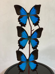 PAIR OF BUTTERFLY DOMES