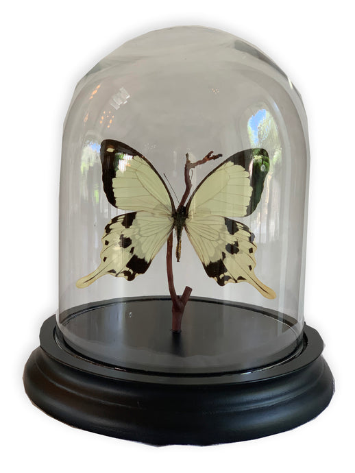 SOLO BUTTERFLY DOME