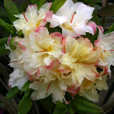Deciduous azalea Cannon's Double