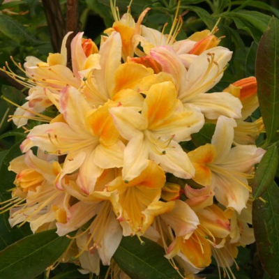 Deciduous azalea Nothern Hi lights