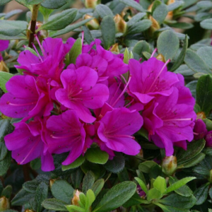 Evergreen azalea - Geisha Purple