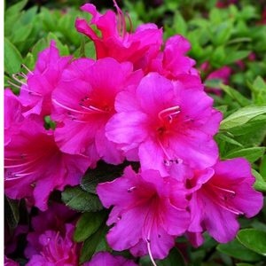 Evergreen azalea Magic Flute