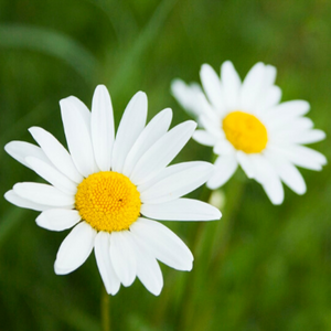 Oxeye Daisy | Wildflower