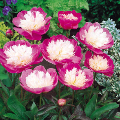 Paeonia 'Bowl of Love'