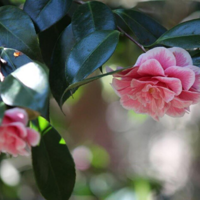 Premium Camellia Box | Includes three specialist plants