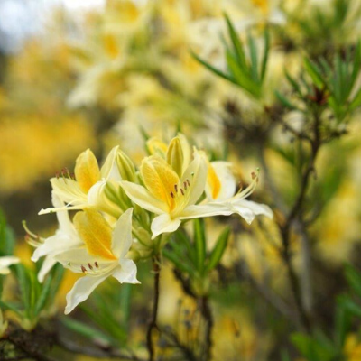 Premium Rhododendron Box | Includes four specialist plants