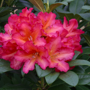 Rhododendron Golden Gate