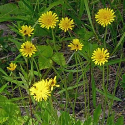 Rough Hawkbit | Wildflower