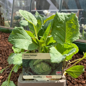 Savoy Cabbage | Ormskirk | 9 cell tray