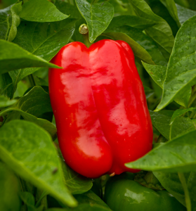 red-square-pepper