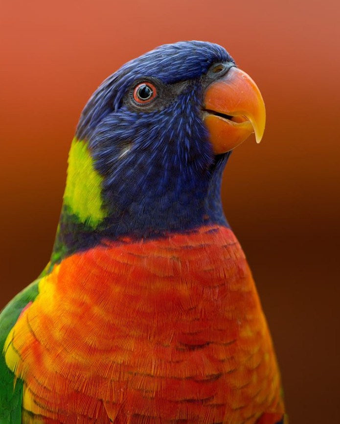 Parrot Paint by Numbers for Adults